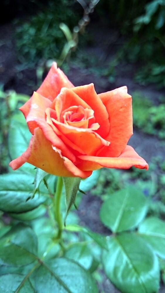 Rose von Gourmetkater