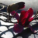 Karen's Magnolia by Catherine Davis