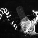 Ringtail Lemus by Eve Parry