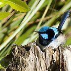 Superb Blue Wren by SusanAdey