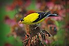 American Goldfinch - Spinus tristis by G. David Chafin