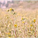 Field of Gold by nikkidahl