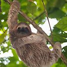 A young three-toed sloth animal in the jungle by Dam - www.seaphotoart.com