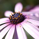 Daisy Time by Joy Watson