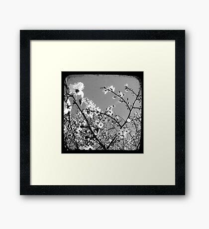 Plum Blossoms Through The Viewfinder (TTV) Framed Print
