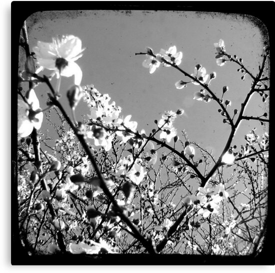 Plum Blossoms Through The Viewfinder (TTV) by Kitsmumma