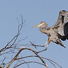 The Landing of the Great Blue Heron by DigitallyStill
