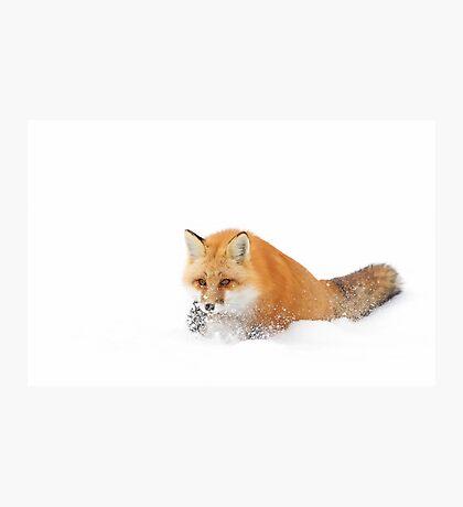 Red Fox - Algonquin Park Photographic Print
