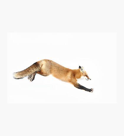 Red Fox Pounce - Algonquin Park Photographic Print