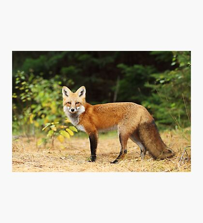 Young Red Fox - Algonquin Park Photographic Print
