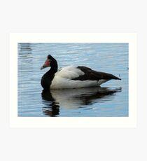 Magpie Goose at Edithvale Wetlands Art Print
