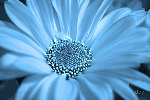 Cool Daisy by b177