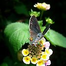 Hairstreak Butterfly Basking by May Lattanzio
