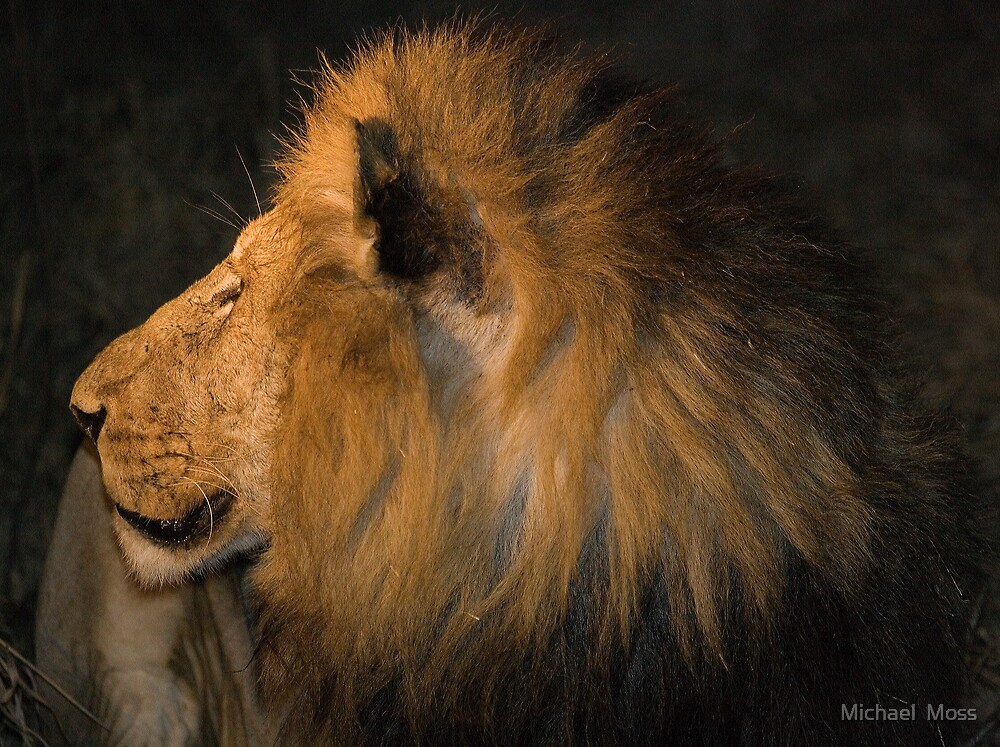 Male Lion Portrait - Night by Michael  Moss