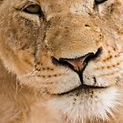Lioness Close up by Michael  Moss