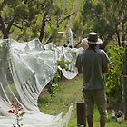 Nets on in the Vineyard - Adelaide Hills Wine Region- Fleurieu Peninsula. South Australia by MagpieSprings
