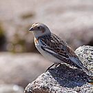 Snow Bunting on Cairngorm by Jamie  Green