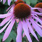 Echinacea purpurea (Asteraceae)  by loiteke
