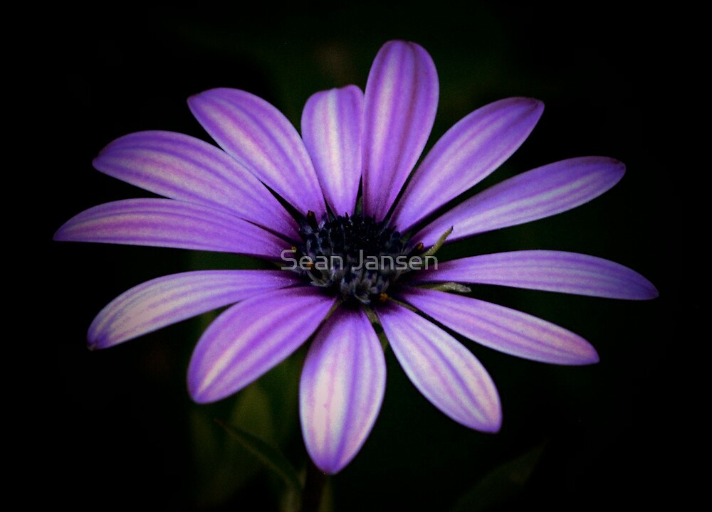 Purple Delight by Sean Jansen