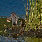 Tri-Colored Heron by TJ Baccari Photography