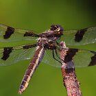 Twelve-spotted Skimmer by Kane Slater