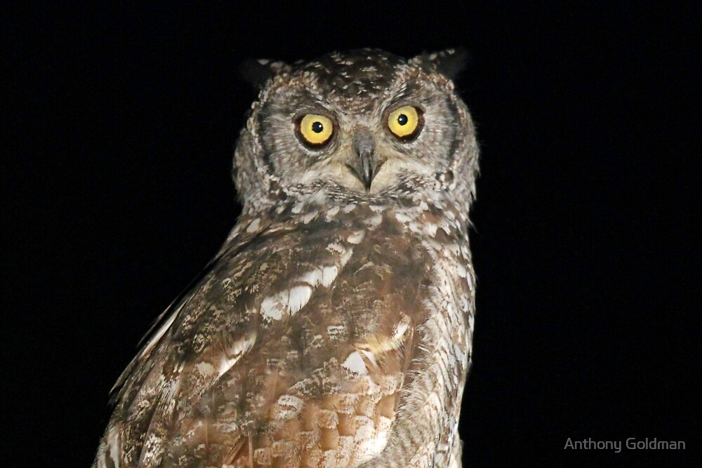 A spotted eagle owl by Anthony Goldman