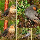 Sparrowhawk  Drumbeg by Alexander Mcrobbie-Munro