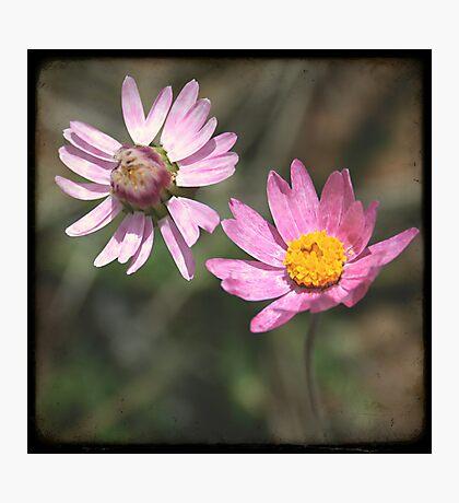 Pink Daisies Photographic Print