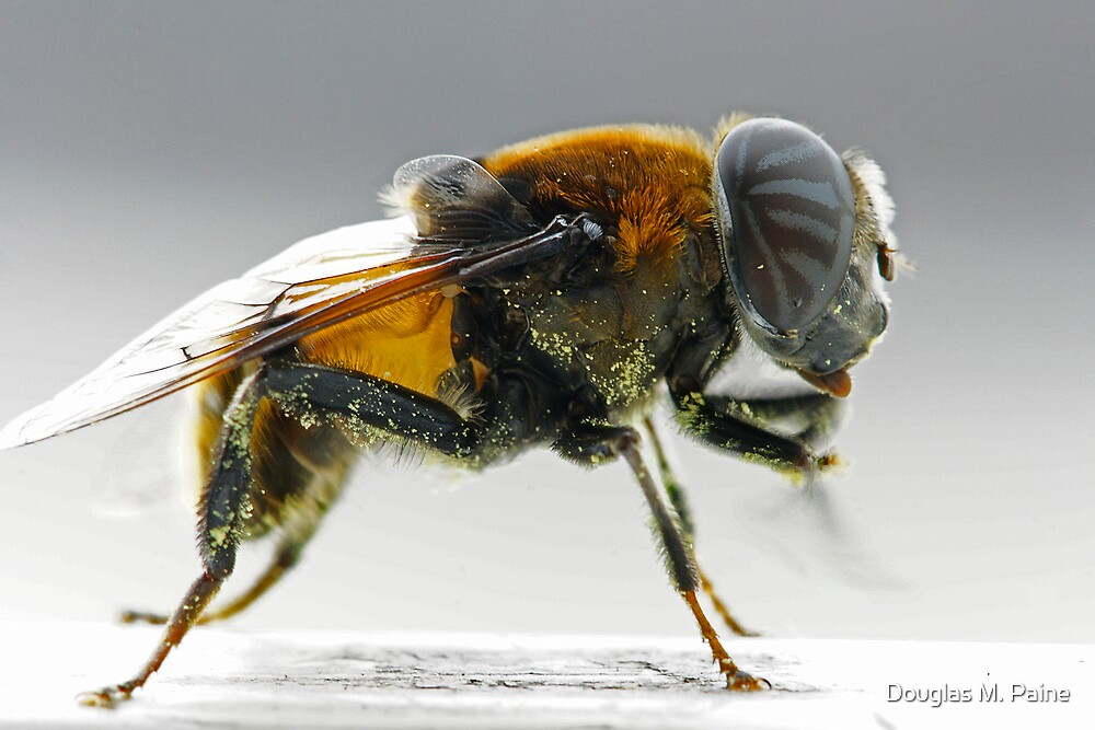 Profile of a flower raider by Douglas M. Paine