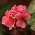 Geranium by Martina Fagan