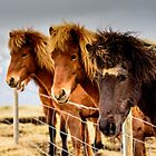 Horses of Iceland (3) by mikewheels