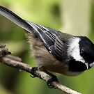 Black-Capped Chickadee Pointing Down by Wolf Read