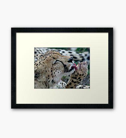 Grooming Cheetah Framed Print