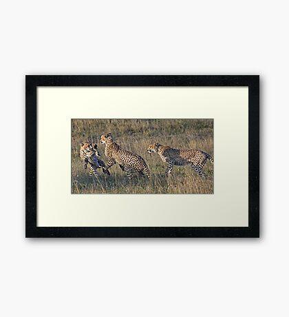 Cheetah Males Playing Framed Print