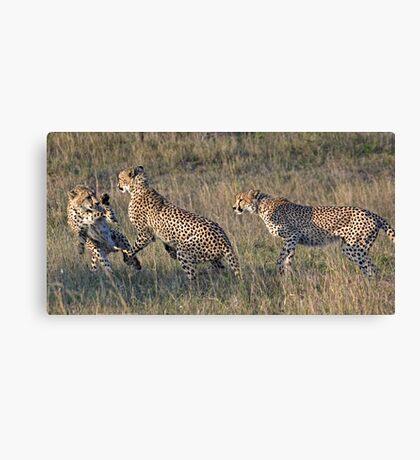 Cheetah Males Playing Canvas Print