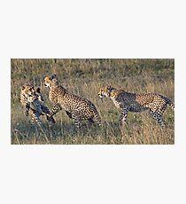 Cheetah Males Playing Photographic Print