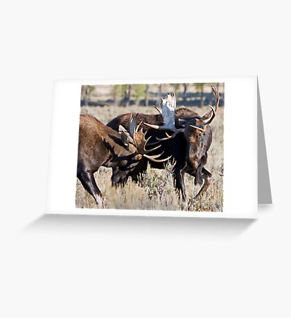 Moose Bulls Sparring Greeting Card