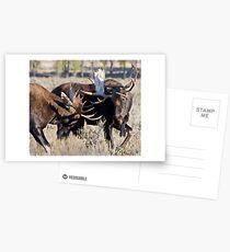 Moose Bulls Sparring Postcards