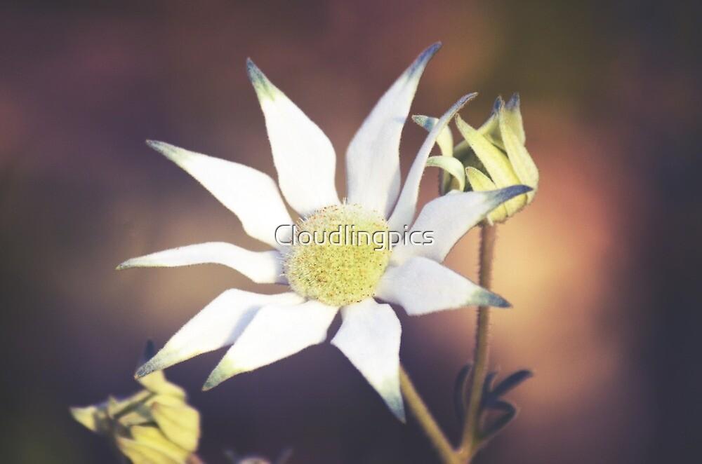Australian Flannel Flowers by Cloudlingpics