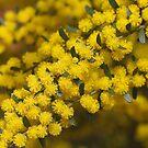 Golden As Wattle by Joy Watson