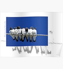 White Breasted Woodswallow Poster