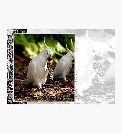 Sulphur Crested Cockatoo Photographic Print