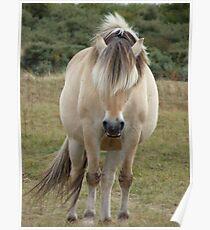 Horse (Equus ferus caballus) Poster