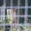 Lynx by pat oubridge
