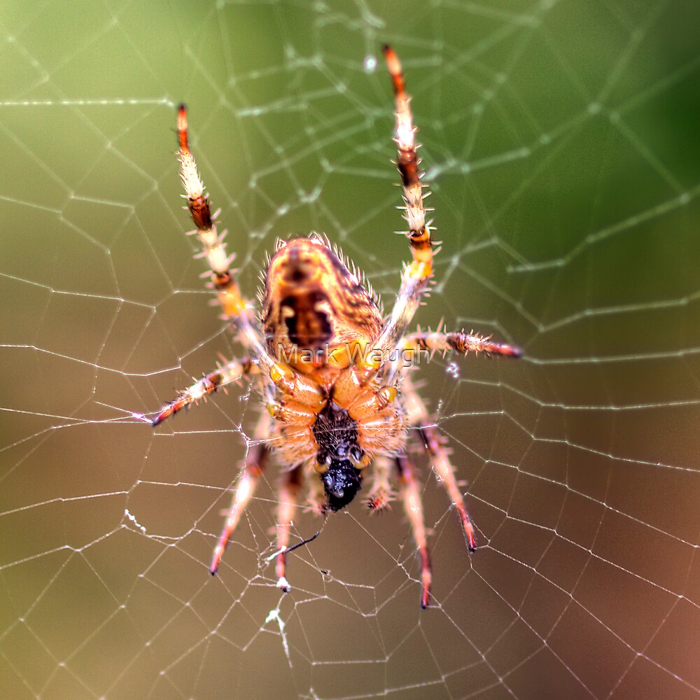 Spider by Mark Waugh