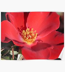 Wild Red Rose Poster
