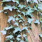 Trailing Ivy Leaves by chihuahuashower