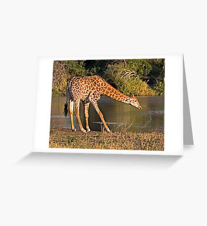 Giraffe Drinking Greeting Card