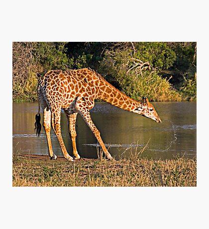 Giraffe Drinking Photographic Print