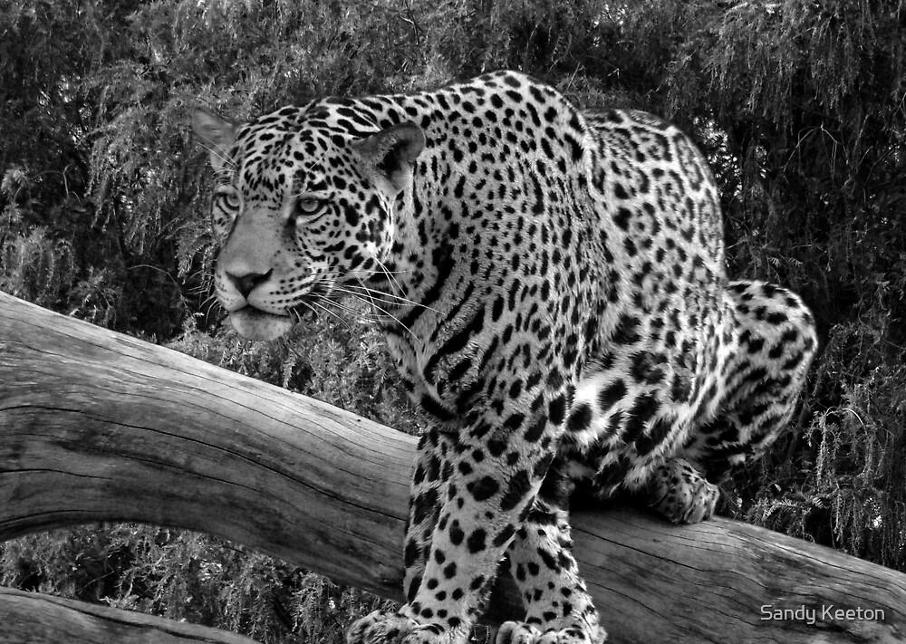 Jaguar Black & White by Sandy Keeton